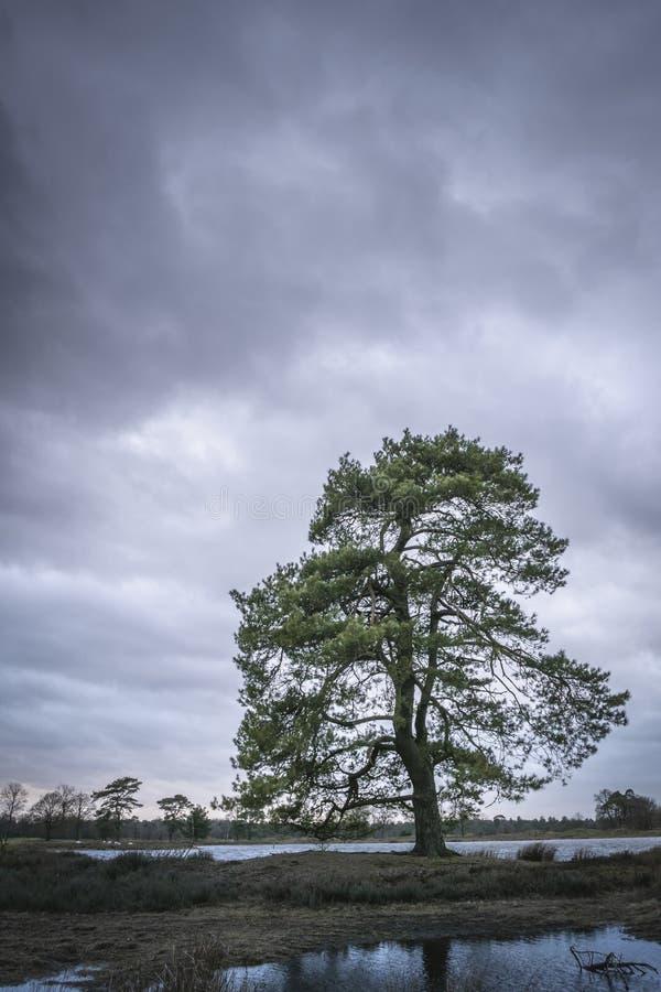 Grote pijnboomboom bij waterenrand op bewolkte stormachtige dag royalty-vrije stock foto's