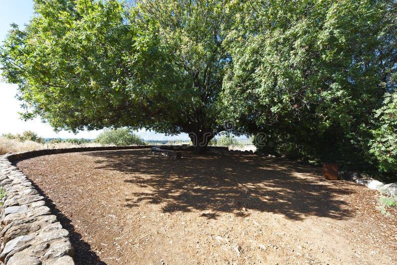 Grote pistacheboom in Israël royalty-vrije stock afbeeldingen