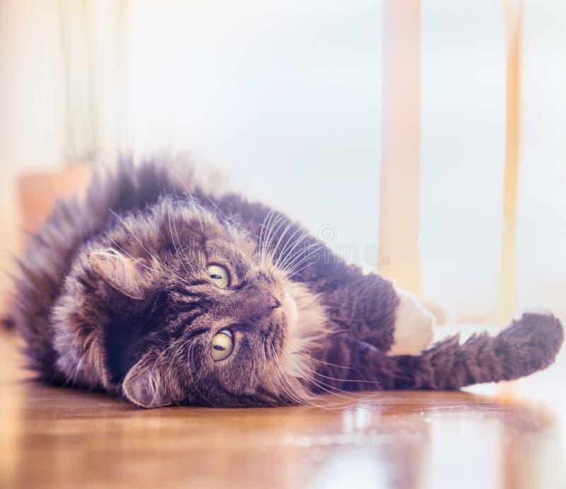 Grote pluizige op houten vloer liggen thuis en kat die speels in de camera kijken royalty-vrije stock afbeeldingen