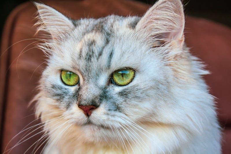 Grote pluizige Siberische kat met heldergroene ogen stock foto's