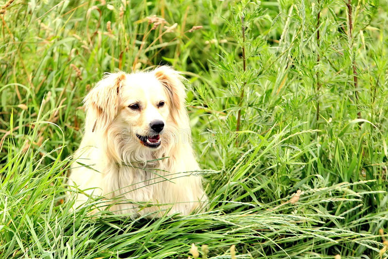 Grote, pluizige, witte hond in aard Schitterend Leuk Puppy stock fotografie