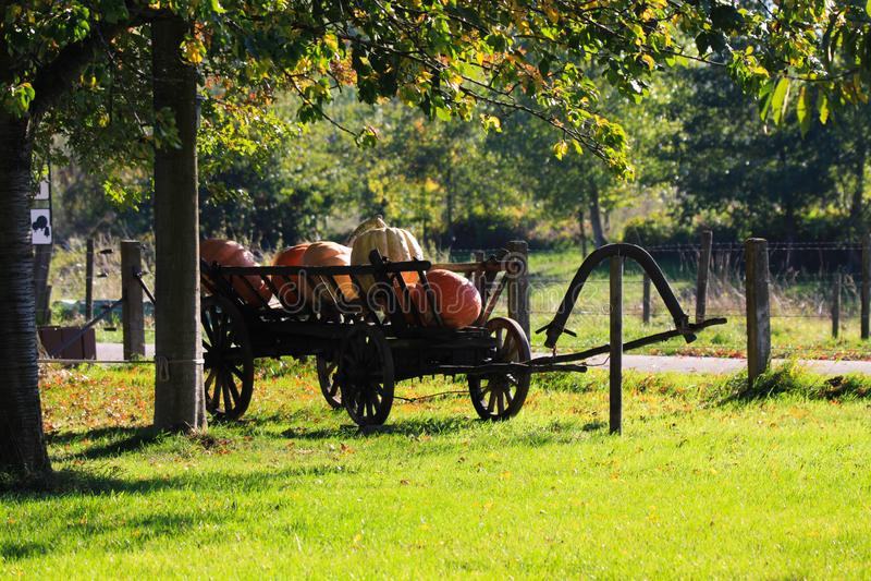 Grote pompoenen op geïsoleerde oude antieke houten karwagen in heldere de herfstzon op een weide van een Nederlands landelijk lan stock afbeeldingen