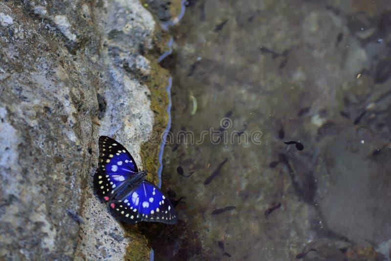 Grote purpere vlinder in water stock foto's