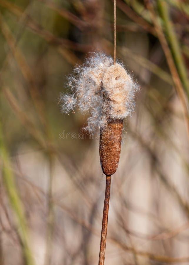 Grote Reedmace - Typha latifolia die zijn zaden afwerpt royalty-vrije stock afbeelding