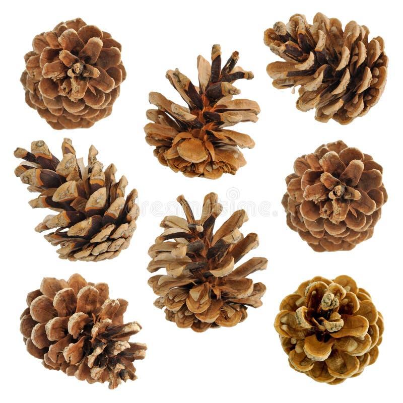 Grote reeks kegels diverse naaldbomen stock afbeelding