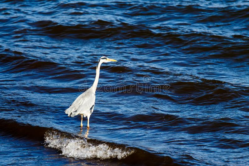 Grote reiger die in blauw het meer, de donkere achtergrond van A waden stock foto