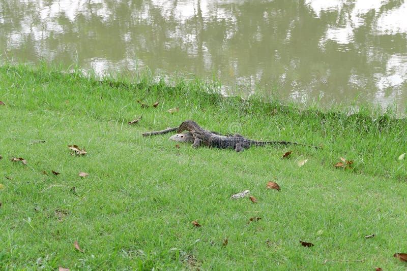 Grote reptielen die lijken op Komodo-draken stock fotografie