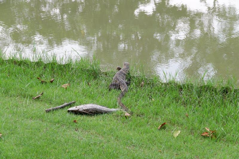 Grote reptielen die lijken op Komodo-draken royalty-vrije stock foto's