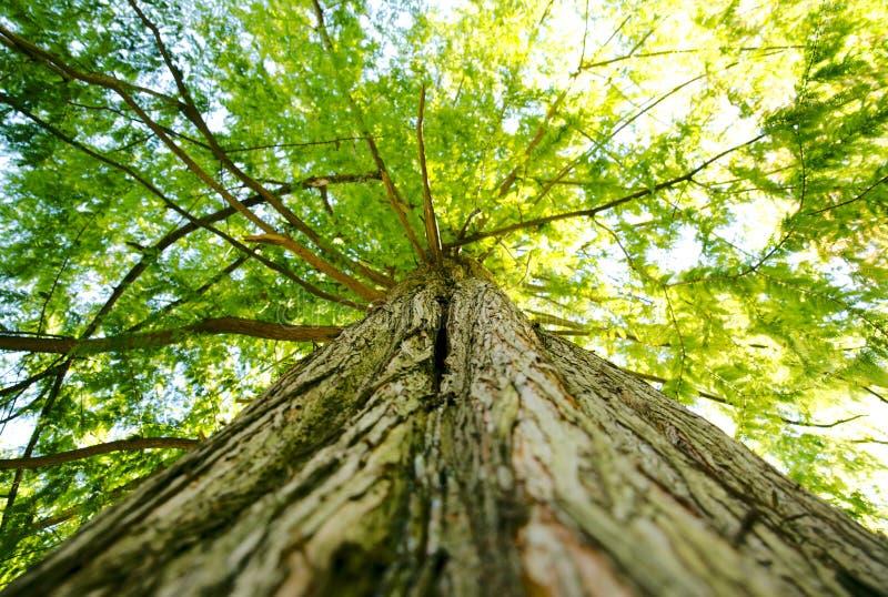 Grote reuzeboomluifel en lidmaten die omhoog in bos kijken stock foto
