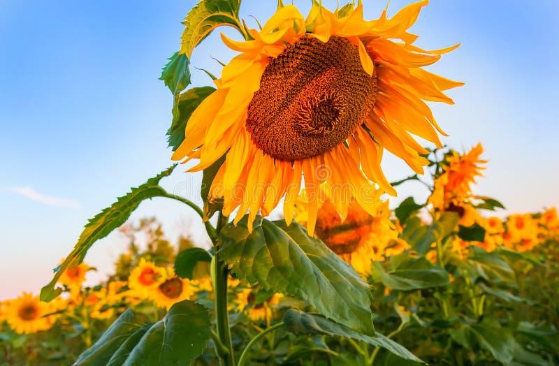 Grote rijpe zonnebloem royalty-vrije stock foto's