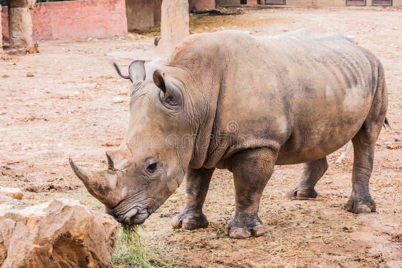 Grote rinoceros in de foto van het dierentuin zijaanzicht stock foto's