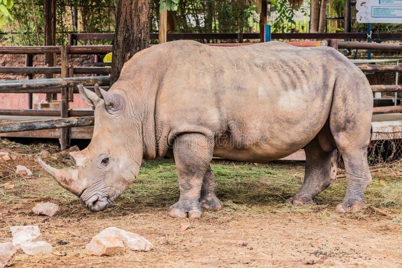 Grote rinoceros in de foto van het dierentuin zijaanzicht stock fotografie