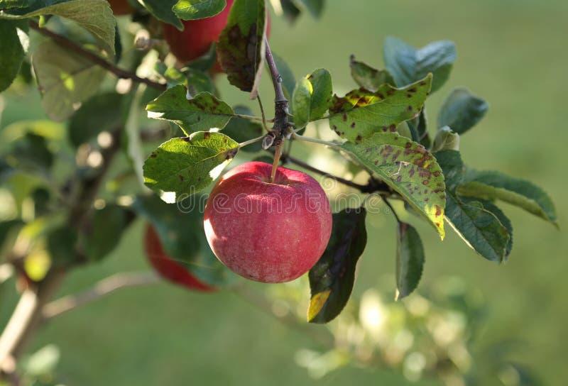 Grote rode appel in de zon op de appelboom stock foto's