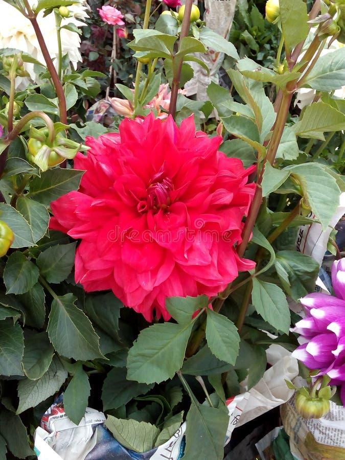 Grote Rode Dalia royalty-vrije stock afbeeldingen