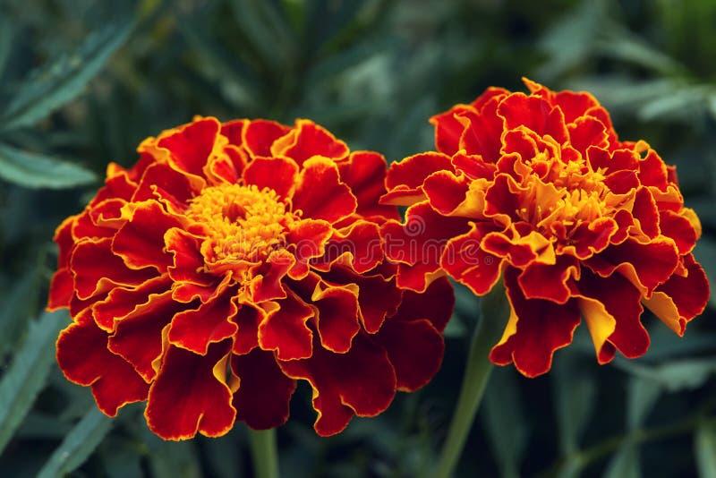 Grote rode en oranje goudsbloembloemen in tuin royalty-vrije stock afbeelding