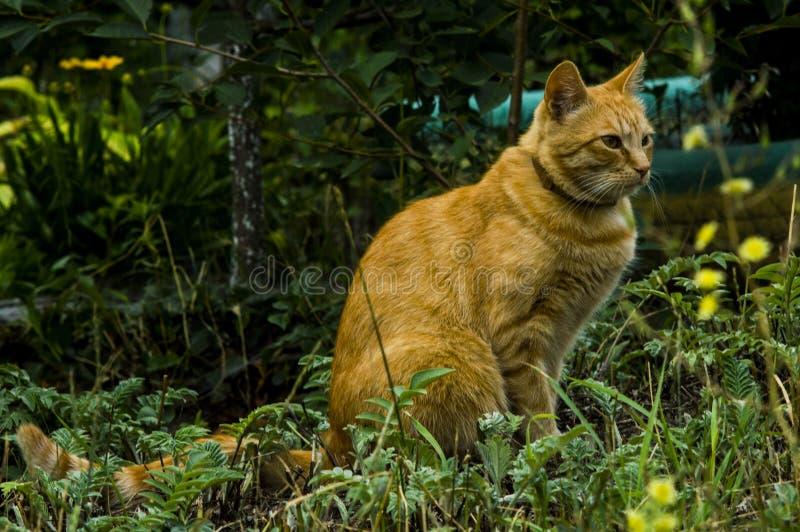 Grote rode ernstige gepompte kat stock fotografie