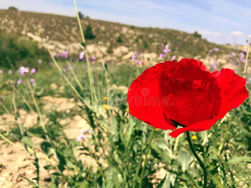 Grote rode papaver stock afbeelding