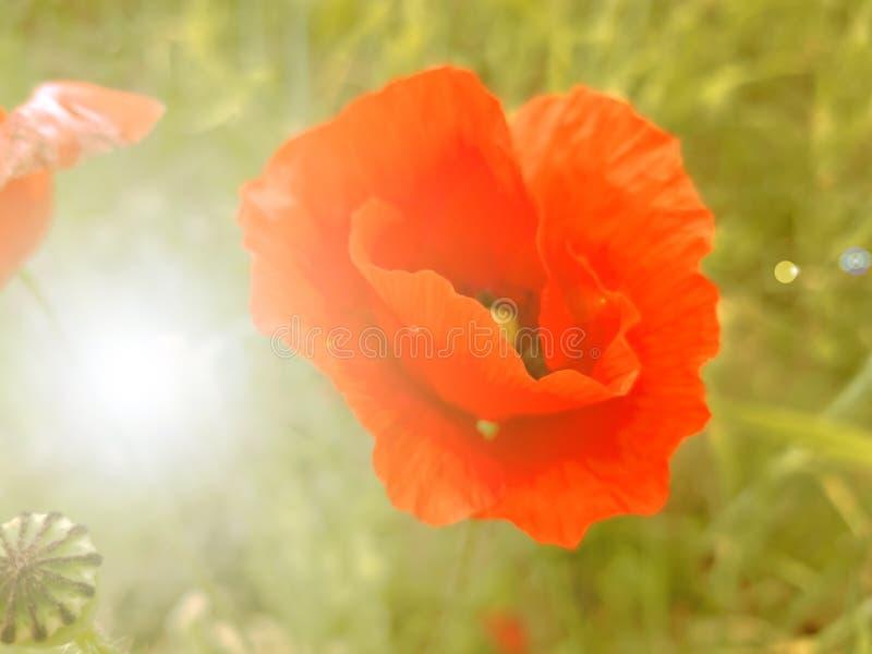 Grote rode papaverbloem op gebiedsachtergrond en zonglans royalty-vrije stock foto