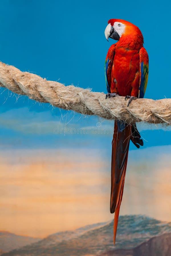 Grote rode papegaaizitting op de kabel royalty-vrije stock fotografie