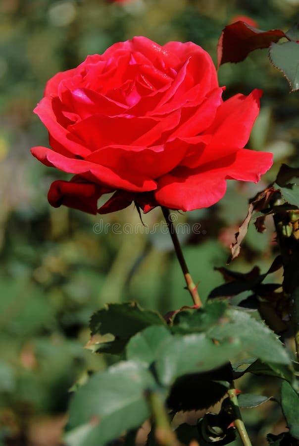 Grote rode rozen, heldere zonneschijn stock foto