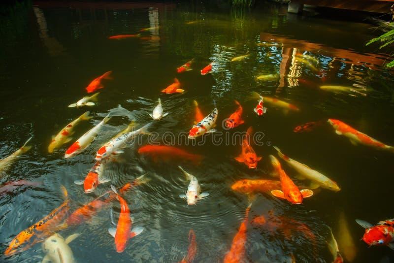 Grote rode vissen in de vijver royalty-vrije stock fotografie