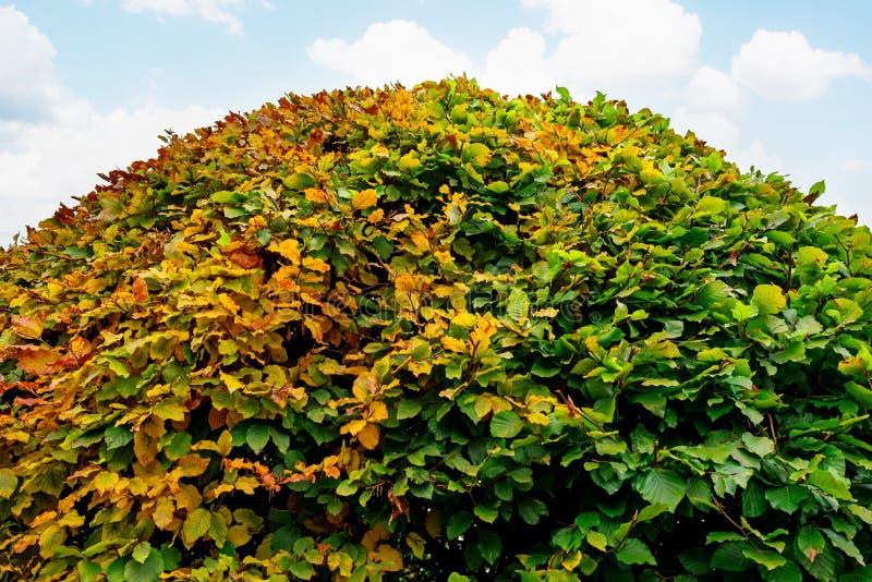 Grote ronde bukshoutstruik in een park royalty-vrije stock foto's