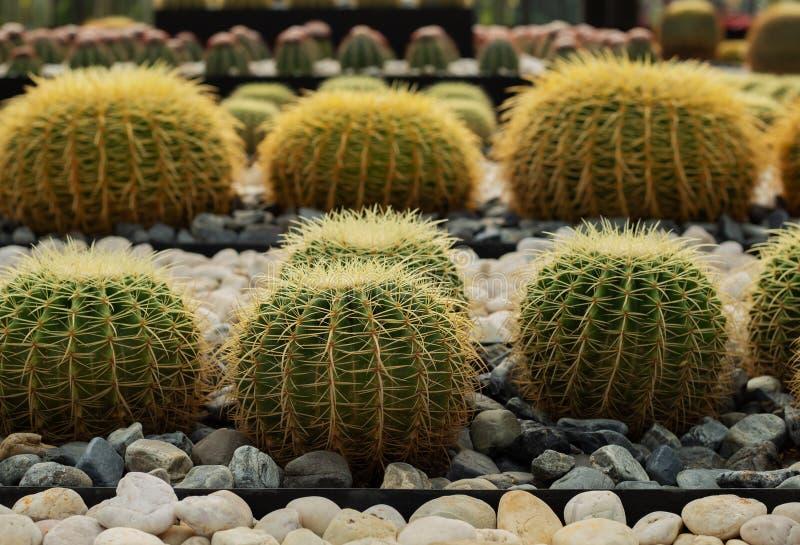 Grote ronde cactussen royalty-vrije stock afbeelding