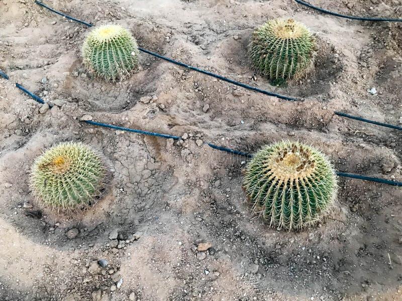 Grote ronde mooie Mexicaan maakt stekelige cactus exotische tropische installaties in dorre droge warme landen, woestijn groen, g royalty-vrije stock fotografie
