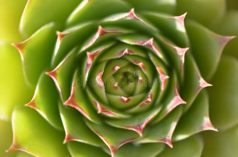 Grote ronde succulent stock afbeeldingen