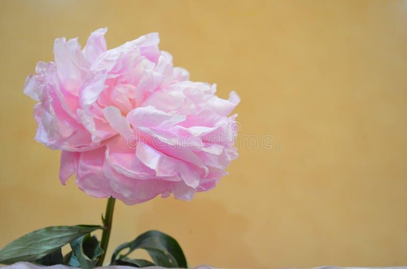 Grote roze bloem royalty-vrije stock foto's