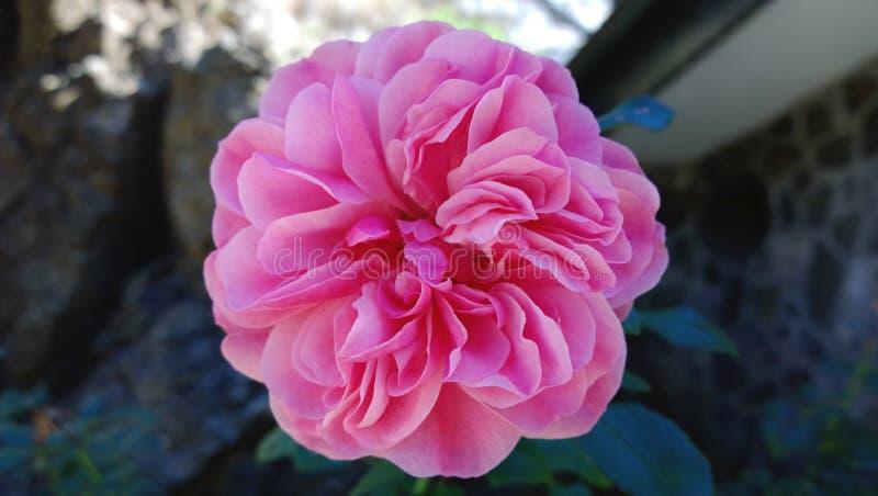 Grote roze bloem op een groene achtergrond royalty-vrije stock foto
