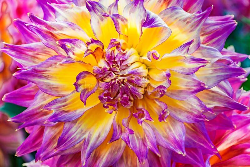 Grote Roze Purpere Gele Dinnerplate Dahlia Flower royalty-vrije stock afbeeldingen