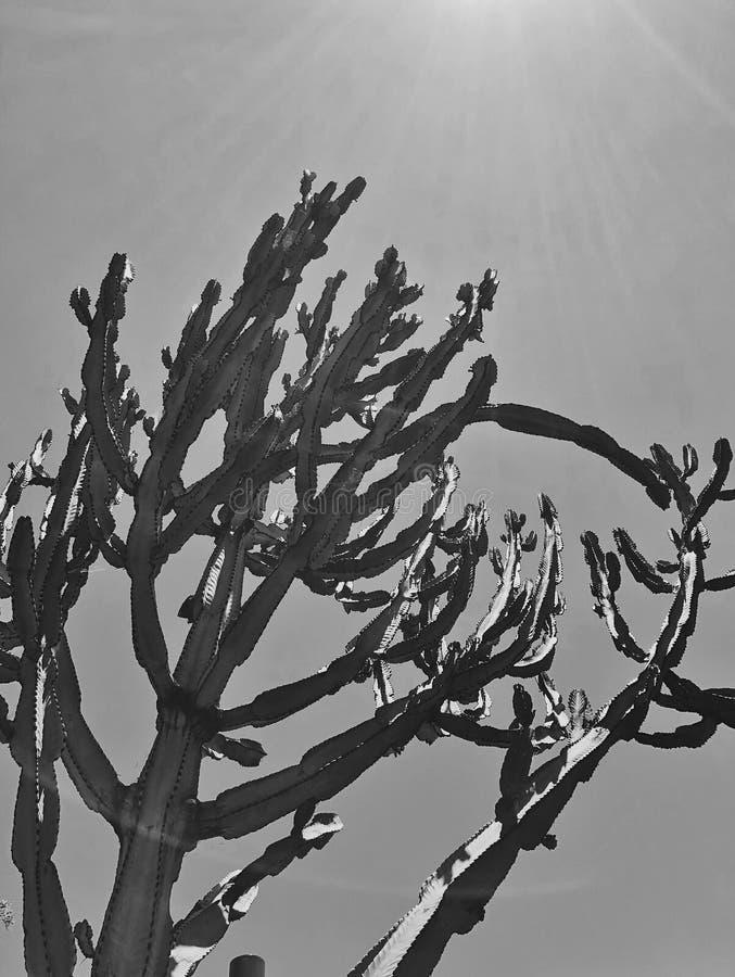 Grote Saguaro-Cactus Succulente Installatie in het Creatieve Woestijn Zwarte & Witte Verticale Beeld stock foto