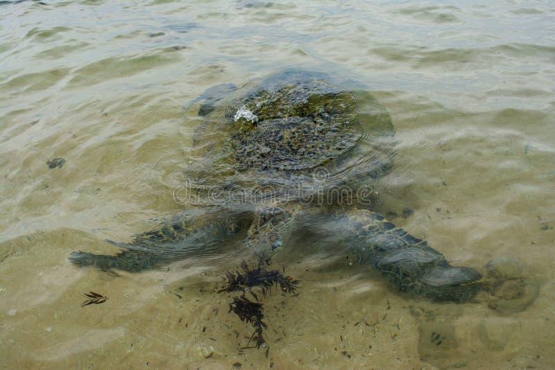 Grote schildpad die overzees onkruid op het strand eten stock afbeelding