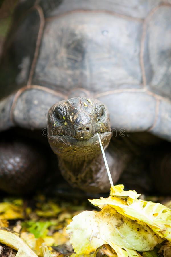 Grote Schildpad die zijn voedsel eten royalty-vrije stock foto's