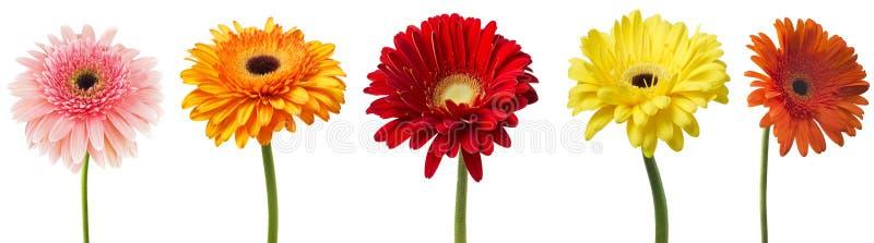 Grote Selectie van Kleurrijke die Gerbera-jamesonii van bloemgerbera op Witte Achtergrond wordt geïsoleerd Diverse rood, geel, or royalty-vrije stock fotografie
