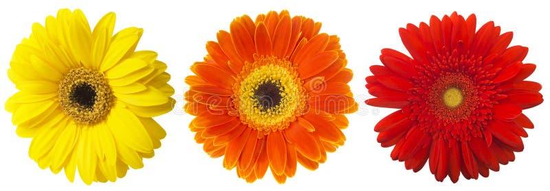 Grote Selectie van Kleurrijke die Gerbera-jamesonii van bloemgerbera op Witte Achtergrond wordt geïsoleerd stock foto's