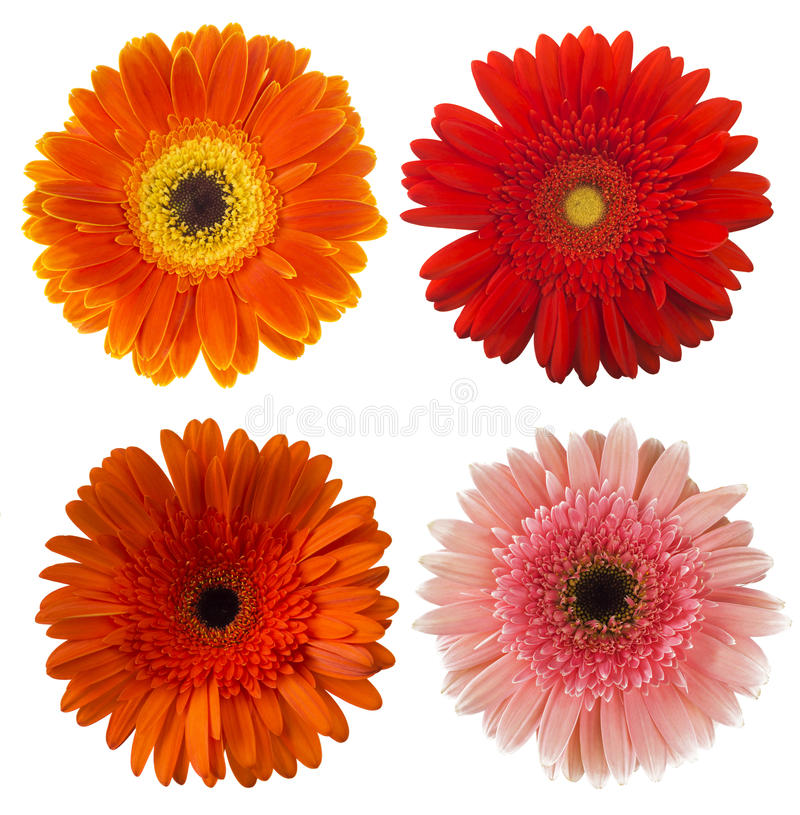 Grote Selectie van Kleurrijke die Gerbera-jamesonii van bloemgerbera op Witte Achtergrond wordt geïsoleerd royalty-vrije stock fotografie