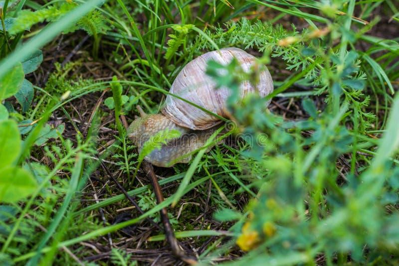 Grote slak met groen gras, natuurlijk close-up, slakkehuis en dierlijk, royalty-vrije stock foto