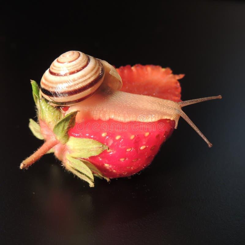 Grote slak op rode aardbeien op een zwarte achtergrond royalty-vrije stock afbeelding