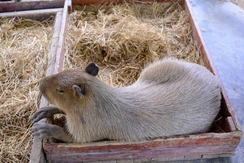 Grote slaperige en luie Capybara stock afbeeldingen