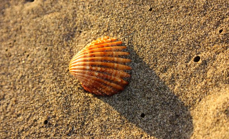 Grote solitaire shell op het strand Sinaasappel, bruin en wit verticale stroken mooi en onverschrokken op het zand stock afbeeldingen