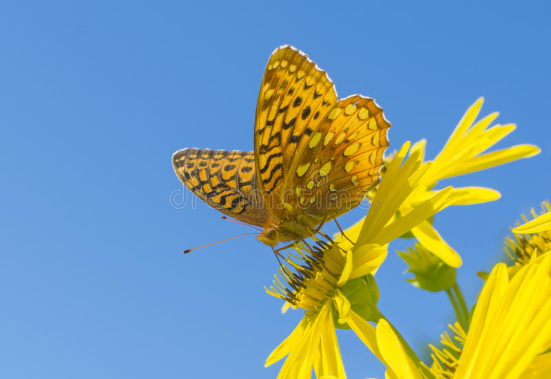 Grote Spangled Fritillary-Close-up stock foto's