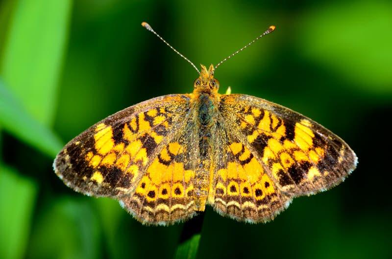 Grote Spangled Fritillary-Vlinder stock afbeeldingen
