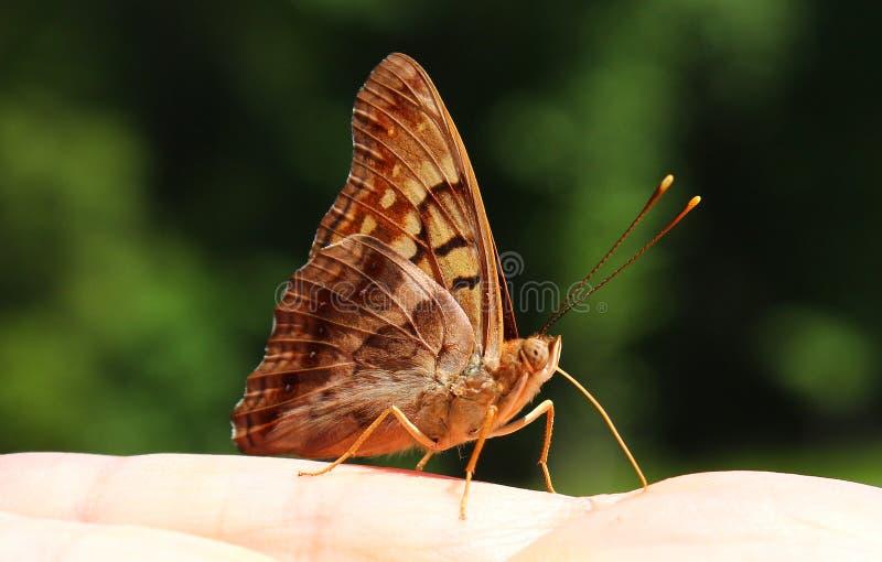 Grote Spangled Fritillary-Vlinder royalty-vrije stock fotografie