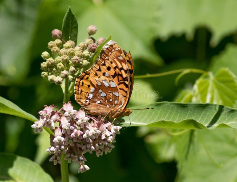 Grote Spangled Fritillary-vlinder op Milkweed-bloem, royalty-vrije stock afbeelding