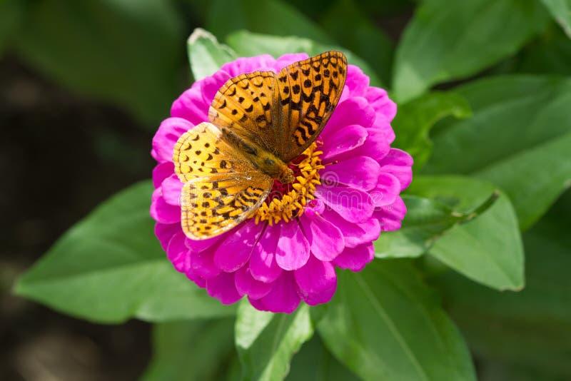 Grote Spangled Fritillary-Vlinder, Speyeria Cybele, op Purpere Zinnia Flower royalty-vrije stock afbeeldingen