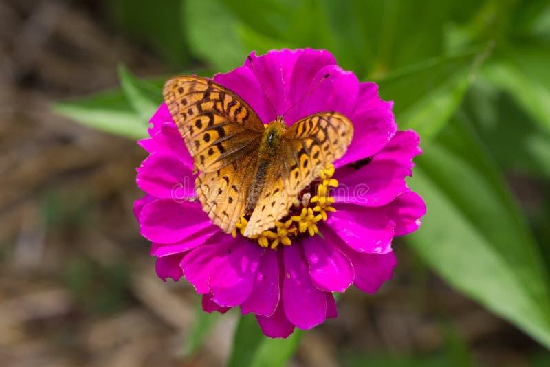 Grote Spangled Fritillary-Vlinder, Speyeria Cybele, op Purpere Zinnia Flower royalty-vrije stock foto's
