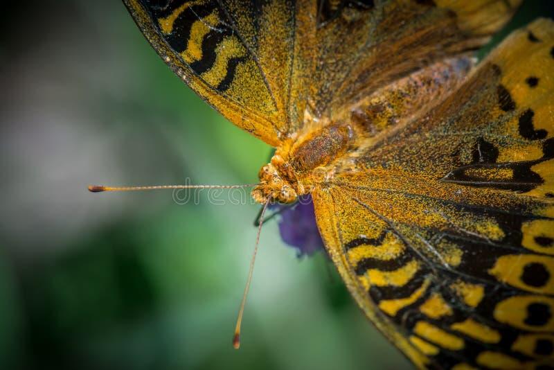 Grote Spangled Vlinder Fritillary royalty-vrije stock afbeelding
