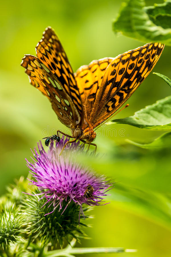 Grote Spangled Vlinder Fritillary stock foto's
